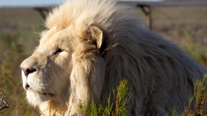 Panthera Africa Big Cat Sanctuary | White Lion